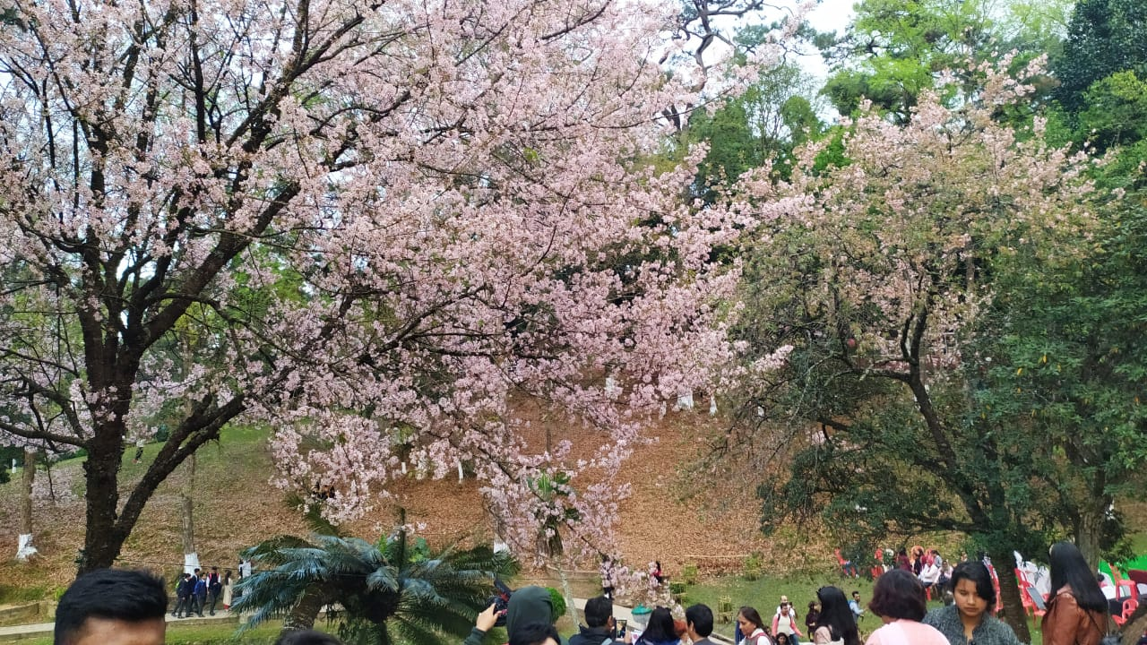 Four day Cherry Blossom Festival attracts tourists in Shillong