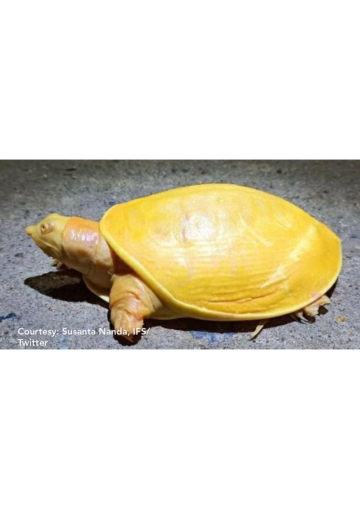 Yellow turtle is an Indian Flpashell Turtle...